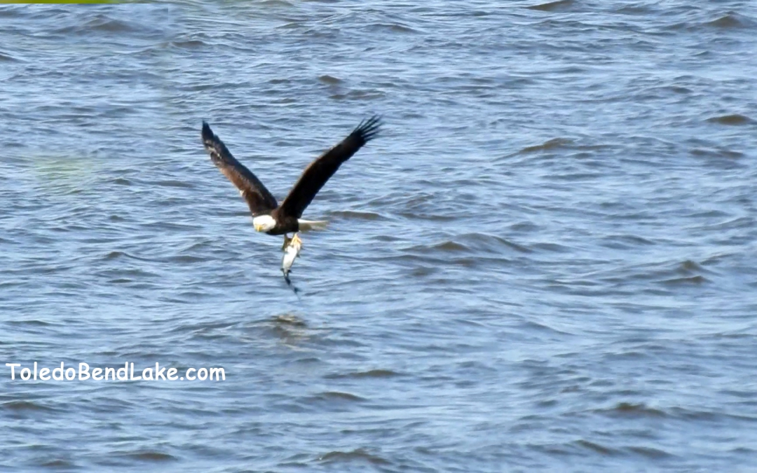 Eagles Love Toledo Bend
