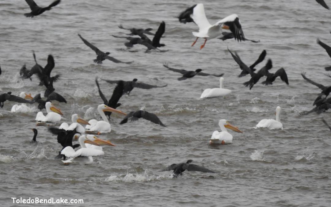 Birds Toledo Bend Lake