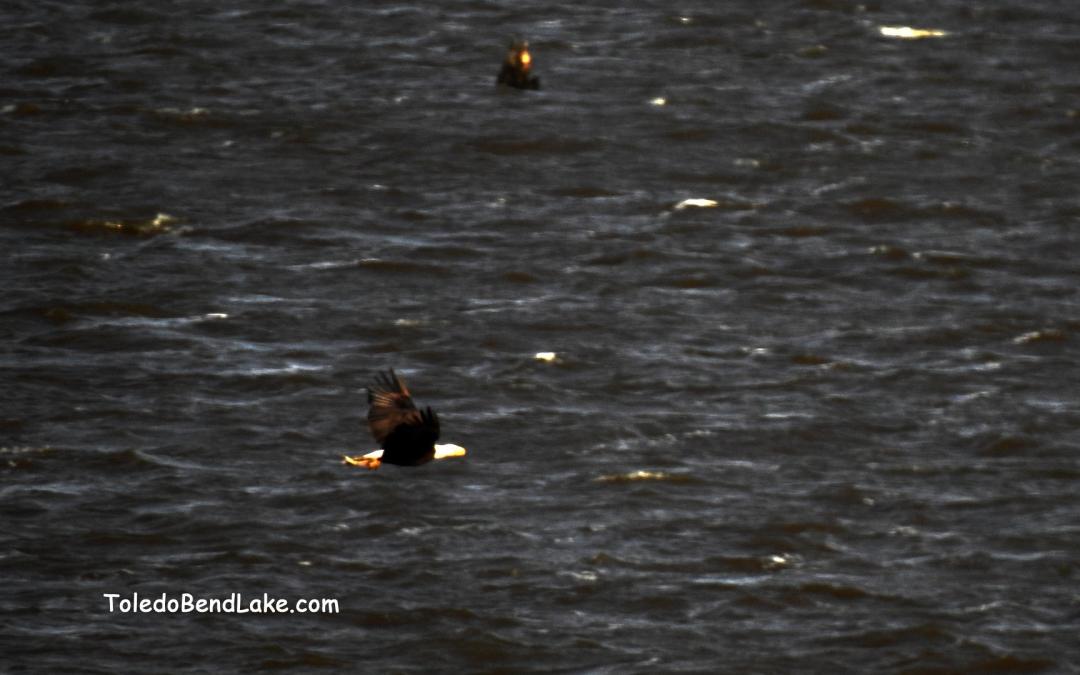 Eagle Fishing Toledo Bend